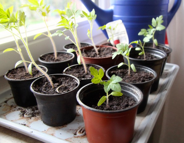 wunder_tomaten_pflanzen